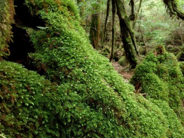 0501Y26苔むす森1.jpg